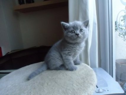 Cute British Blue Shorthair kittens