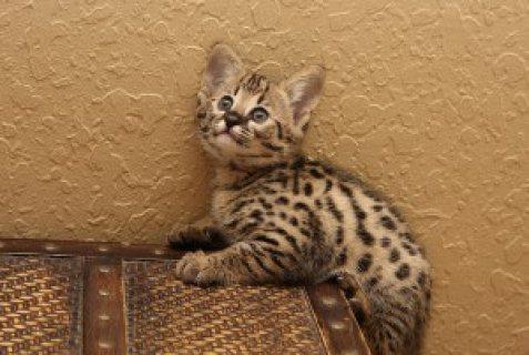 We have a choice of several Savannah kittens.