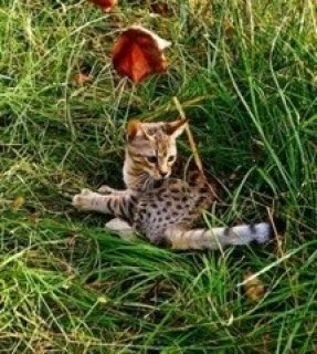 (F2 Litter) TICA Reg Savannah Kittens Ready