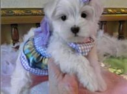 Awesome Male And Female Maltese