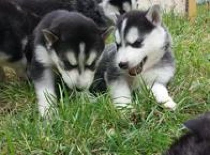 Health certificate, Siberian Husky puppies for adoption