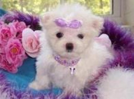 Excellent Teacup Maltese Puppies