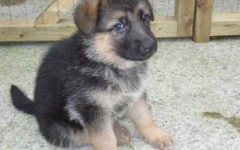 german shepherd puppies for for rehoming