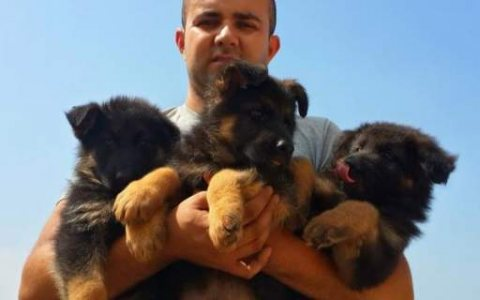 german shepherd puppies %100 best puppies in the middle east