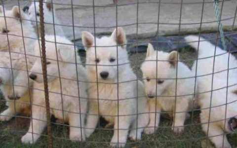 swiss shepherd puppies ( beautiful dogs )
