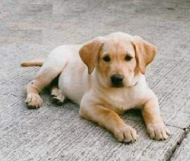 labrador retreiver puppies ( perfect dogs )