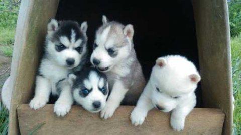 Sweet and wonderful Siberian husky puppies
