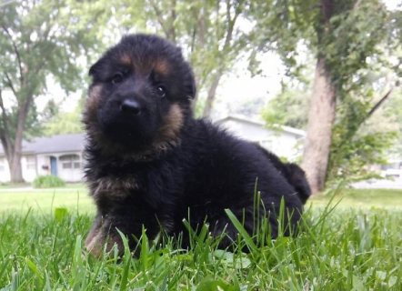 Shepherd puppies available for sale now