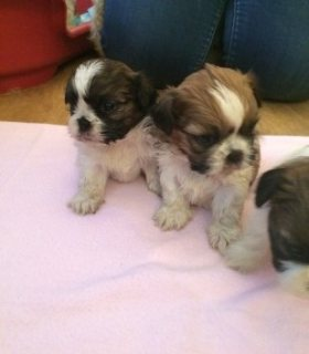 Shih Tzu puppies ready for rehoming