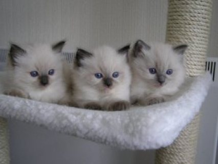 Gorgeous fun loving ragdoll Kittens kittens available now