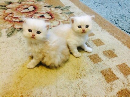 Long hair Persian kittens