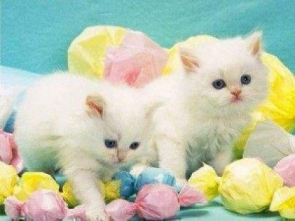 white Persian kittens available for a good home