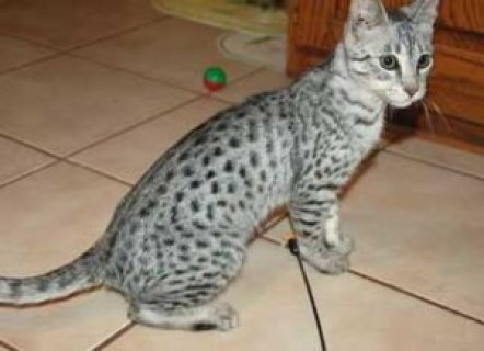 Good Male and female Savannah Kittens for sale