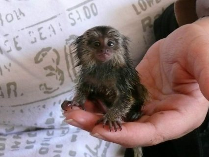 Adorable Little Marmoset Monkey for sale