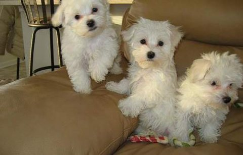 Good looking Adorable maltese puppies available