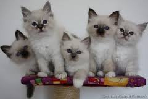 Cute male and female Birman kittens ready for sale