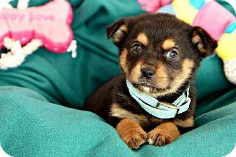 Cute Rottweiler Puppies Available for adoption