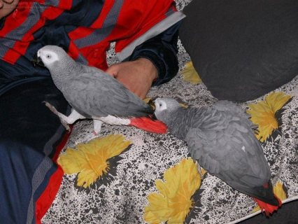 Congo African Grey Parrots adoption