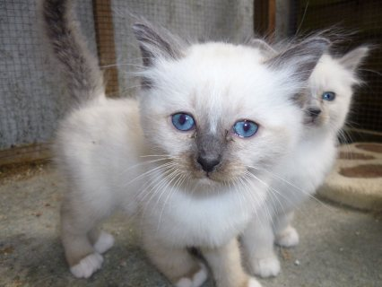 Cute Barman Kittens For Re homing