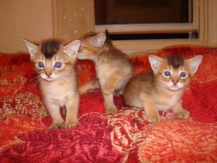Abyssinian Kittens  Male And Female For Lovely Homes