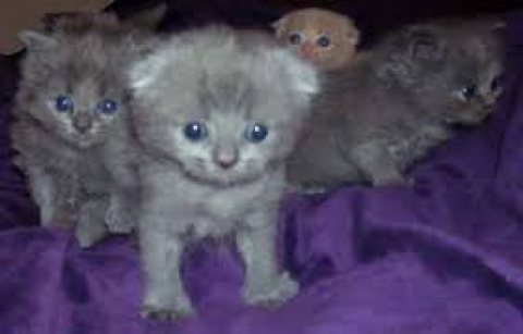 Scottish Fold male and female Kittens For Sale