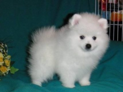 Cute male and female Teacup Pomerania Puppies for sale..contact