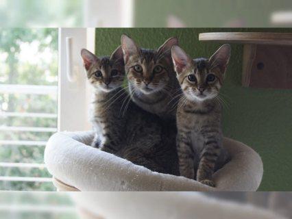 Stunning Litter Of 3 Goergeous F2 Svannah Kittens