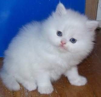 Wonderful Lovely Persian Kittens for Sale
