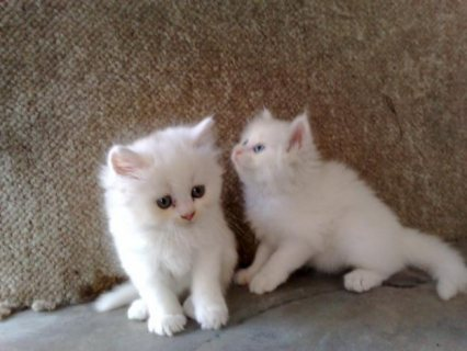 Amazing Persian Kittens For Sale