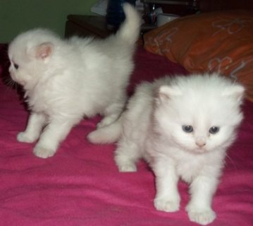 Beautiful Female Persian Kittens Available For Sale