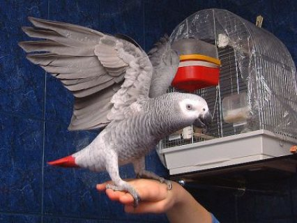 Excellent African grey parrots For Sale