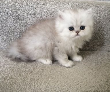 Adorable Male Chinchilla Pedigree Kitten For Rehoming