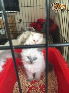 Ragdoll Kittens Ready Now