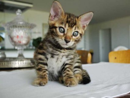 Gift Potty Trained Bengal Kittens for sale