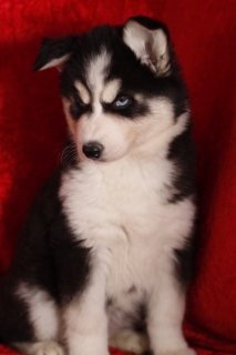 siberian husky pupy for adoption.