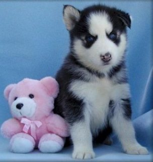 We offer lovely male and female Siberian husky puppies for sale