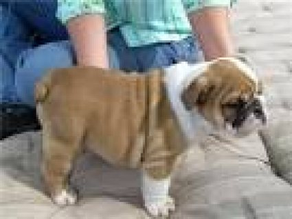 12 WEEKS ENGLISH BULLDOG PUPPIES AVAILABLE