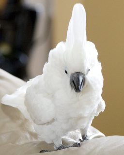 Home raise cockatoo parrots available for sale