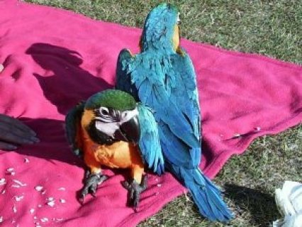 Adorable Male and Female Blue And Gold Macaw Parrots for sale