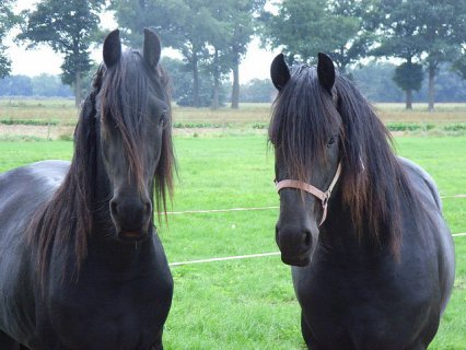 lovely frisian horse for sale