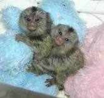Twins Marmosets Monkeys For sale