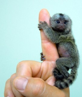 صور marmoset monkeys for good homes 1