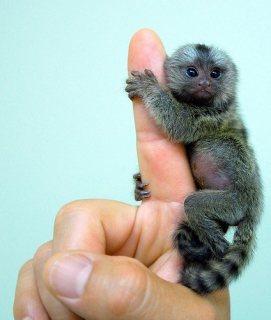 marmoset monkeys for good homes
