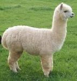Adorable and Healthy alpaca Ready to join a new family