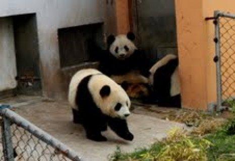 Cute male and female Cute panda for sale