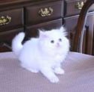 White & Solid colored Persian Kittens For sale