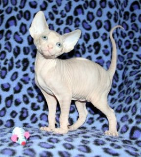 Absolutely Beautiful Male and Female TICA Sphynx Kitten availabl