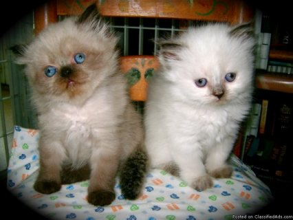 Himalayan Kittens looking for a home now