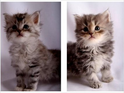 Siberian Kittens Looking for a good home