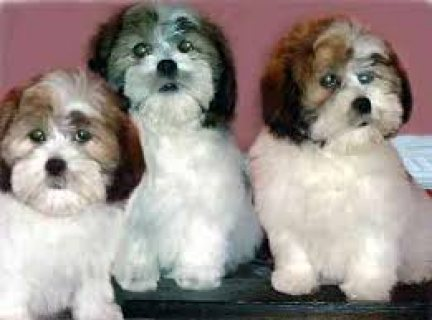 Lhasa Apso puppies ready for their new homes...